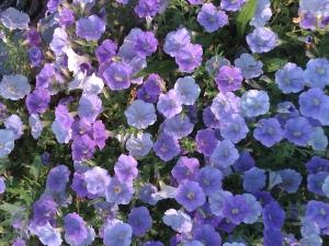 Petunias bleu clair