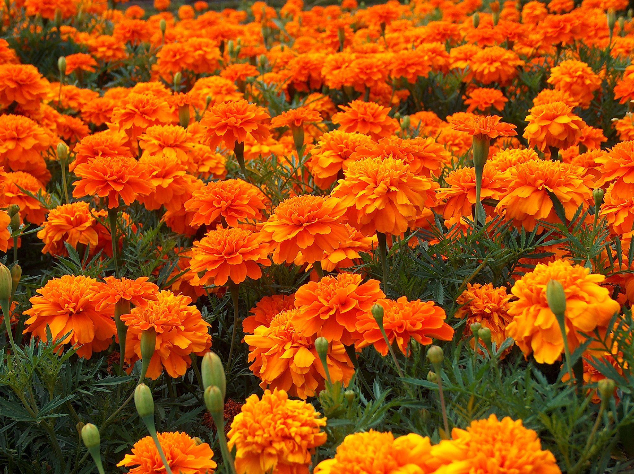 Plantes du mois jardissimo for Plantes jardiniere plein soleil