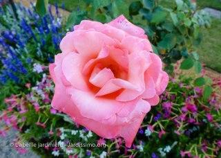 20120809 - Cher - Bourges - rose détail