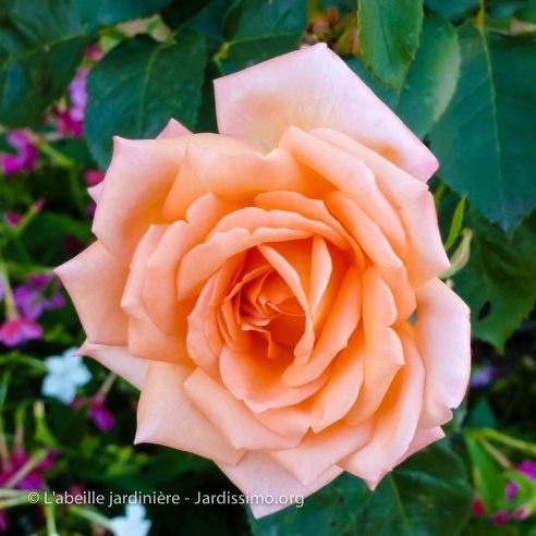 20120809 - Cher - Bourges - rose saumonée