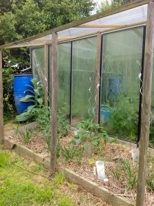 Plants de tomates protégés par un auvent