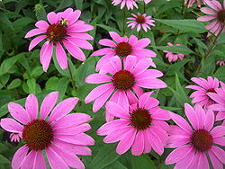 Echinacea wiki