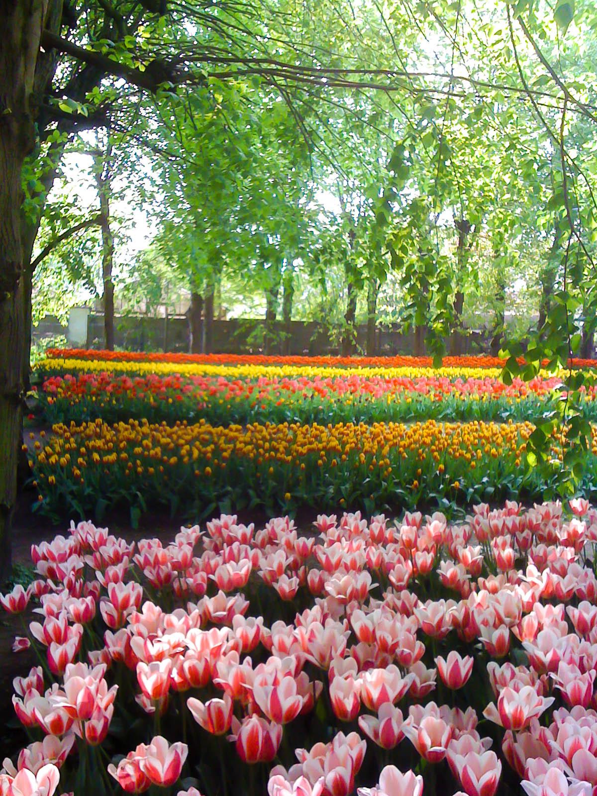 massifs de tulipes. Black Bedroom Furniture Sets. Home Design Ideas