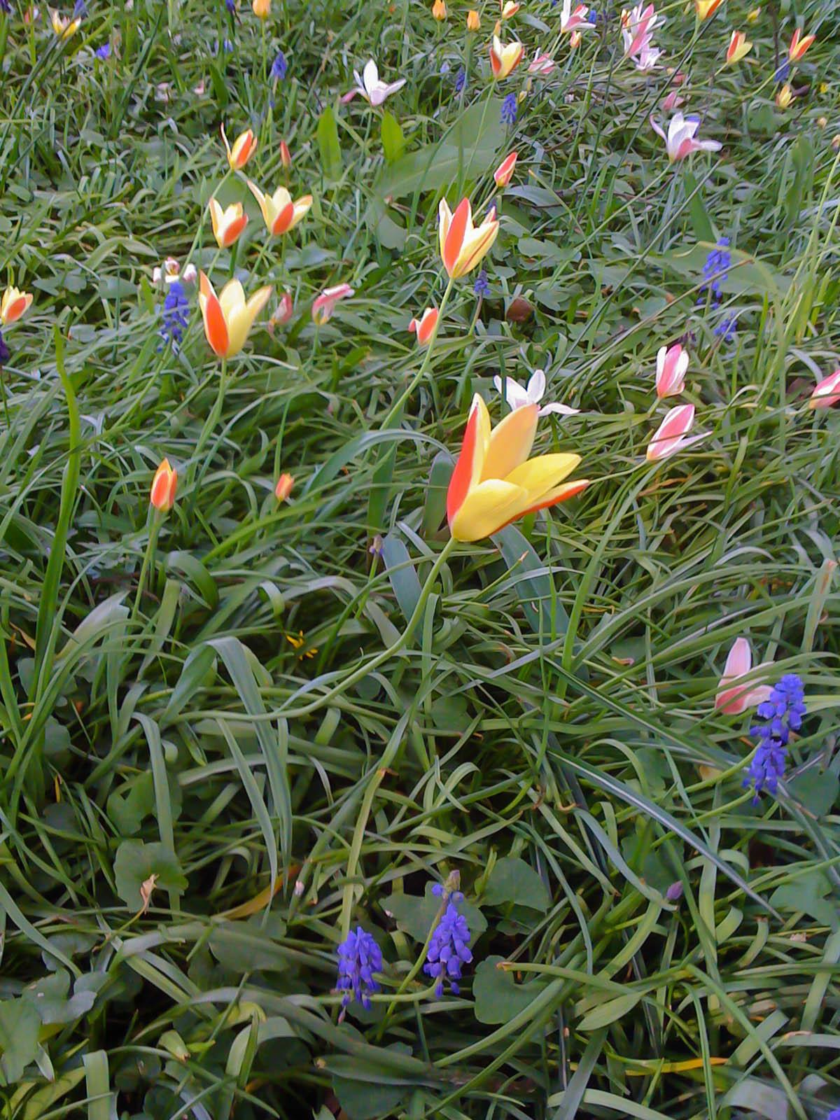 Planter ses bulbes de printemps jardissimo - Quand planter les bulbes de tulipes et jonquilles ...