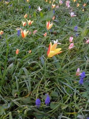 Prairie à tulipes botaniques