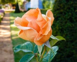 Rose en bouton