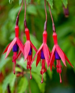Fuchsia effilé