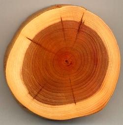 Coupe de bois d'if commun [Taxus baccata] avec l'aubier plus clair et le duramen plus sombre.