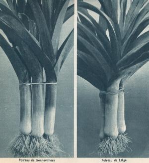 Graines Clause 1936: variété de poireaux