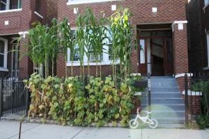 Jardinet avant, quartier mexicain : culture de concombre et maïs