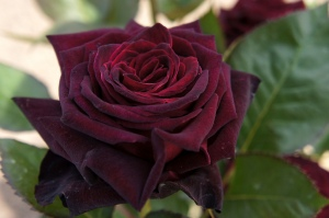 Rose 'black Baccara'