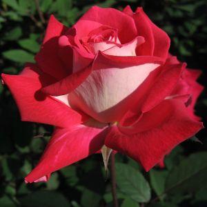 Rose 'Love' pour la Saint Valentin