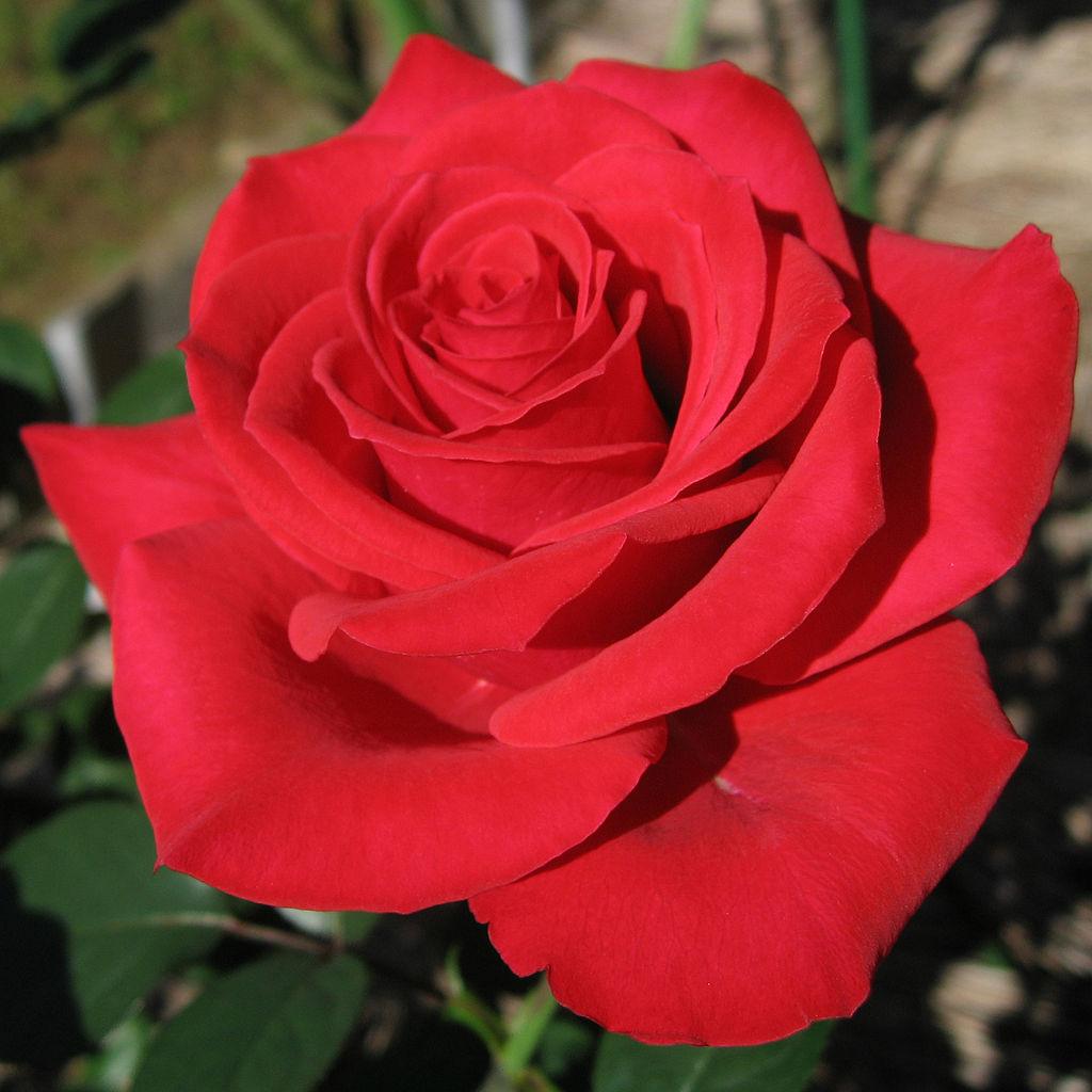 Les Fleurs De La Saint Valentin Jardissimo