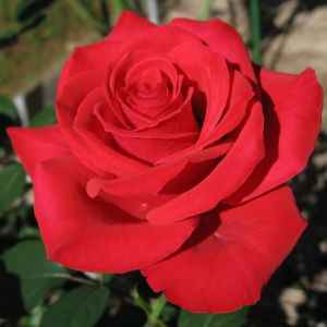 Rose 'Red Chateau'