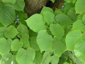 Peut-on couper les branches d'un tilleul ?
