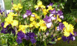Bouquet d'iris