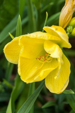 Hemerocalis 'Lime peel'
