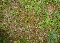 Mousse dans une pelouse en mauvais état