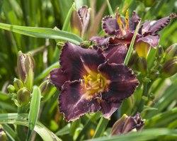 Que faire après la floraison des hémérocalles ?
